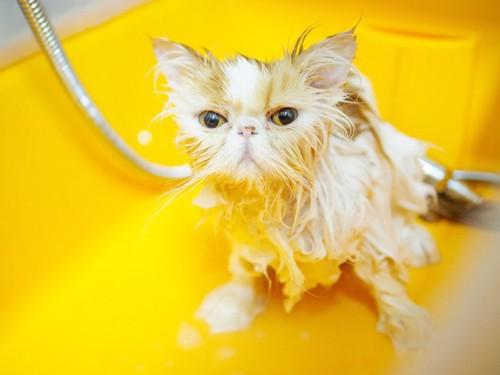 シャンプーする猫