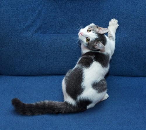 ソファに爪を立てて振り返る子猫