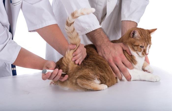 検温される猫