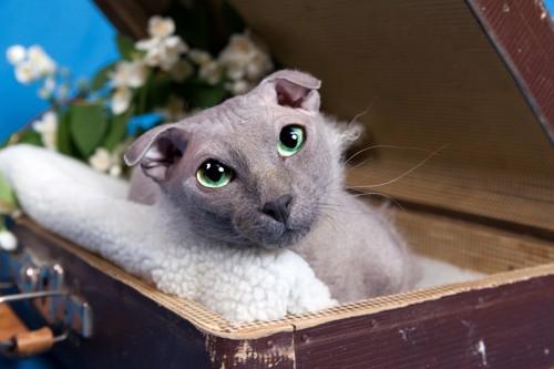 箱の中にいるユークレイニアンレフコイ