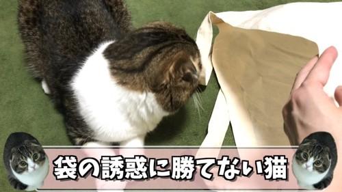 袋の中を見る猫