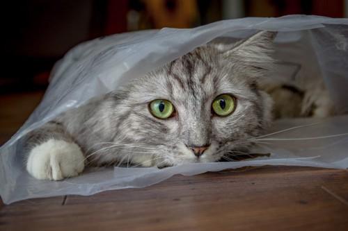 ビニール袋の中に入る猫