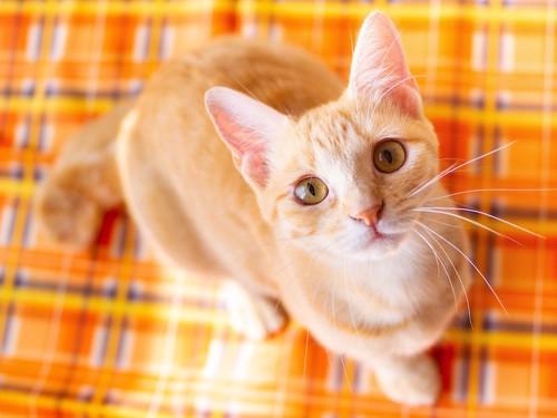 オレンジのシートの上でこちらを見上げる猫
