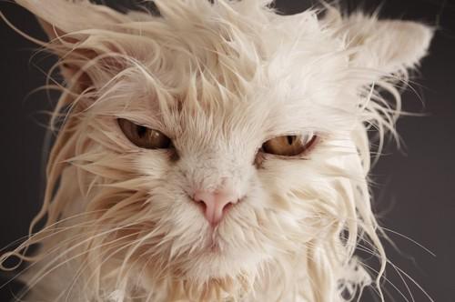 びしょ濡れで不機嫌な猫の顔