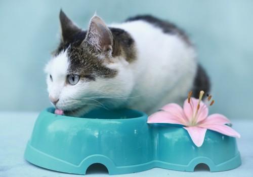 水を飲んでいる猫