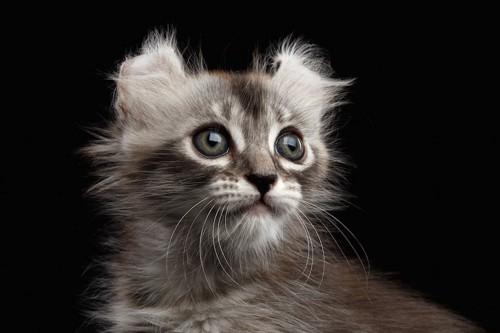 黒い背景とアメリカンカールの子猫の顏アップ