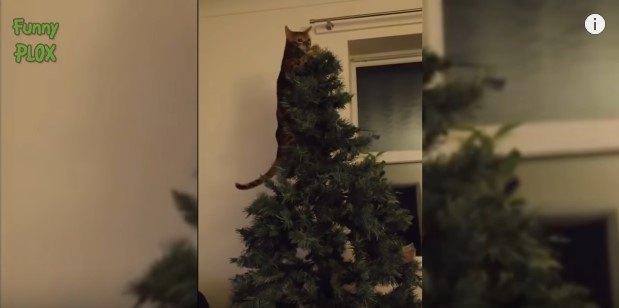 ツリーの頂上に到達した猫