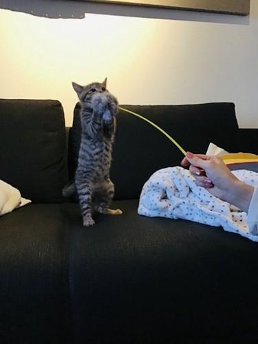 立ち上がって猫じゃらしを両手でつかむそらくん