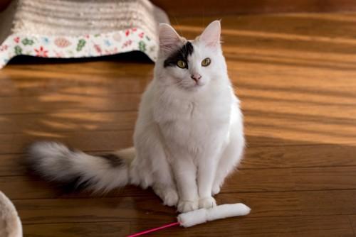 おもちゃを前に座る猫