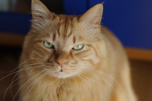 怒ったような表情でこちらを見つめる猫