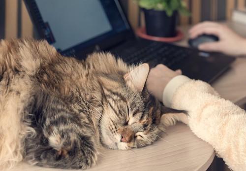 飼い主の操作するパソコンの横で眠る猫