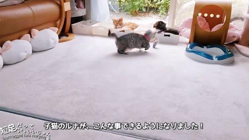 おもちゃに向かって走る猫