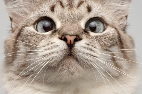 寄り目の猫の顔アップ