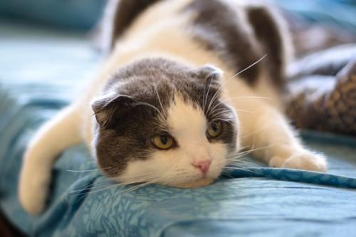 うつ伏せで寝る猫