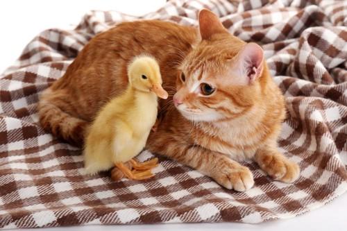 アヒルと猫