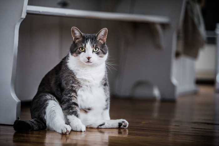 おっさん座りする短毛の猫