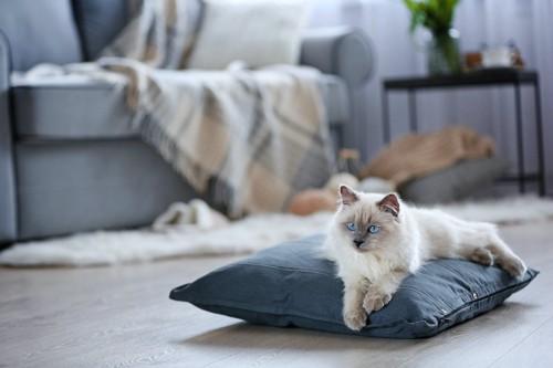 リビングのクッションに乗って寛ぐ猫