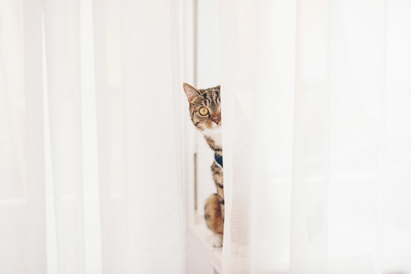 カーテンの間から顔を見せる猫