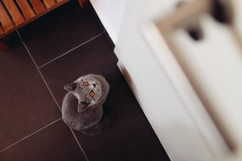 見上げるグレーの猫