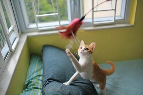 猫じゃらしで遊んでいる猫