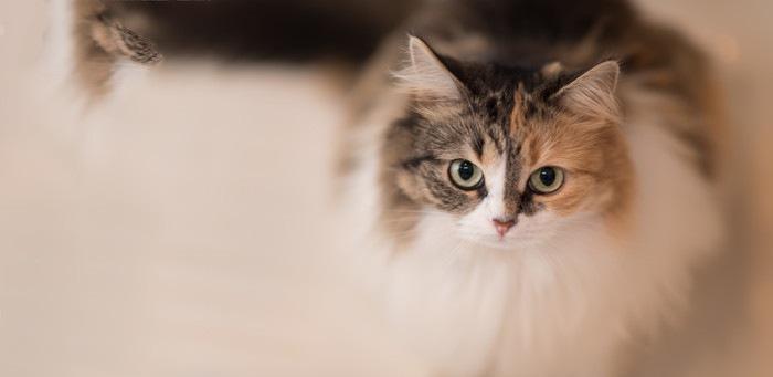 毛並みが綺麗な猫