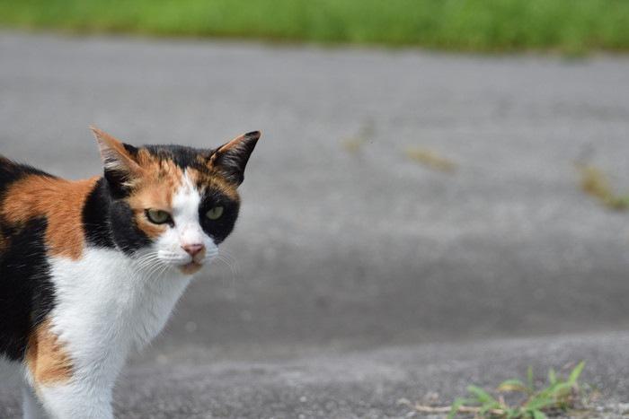 道を歩く三毛猫