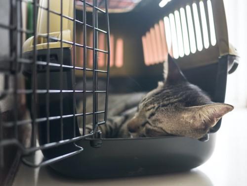 扉が開いているキャリーの中で寝る猫