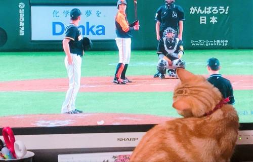野球観戦する猫