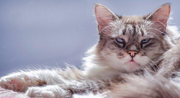 寄り目がちな猫