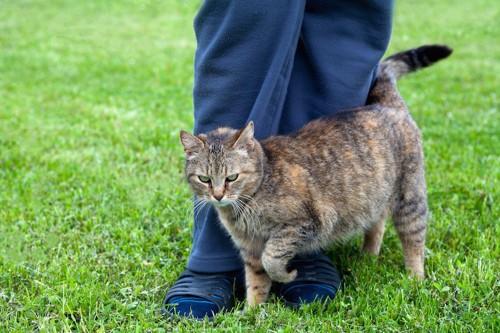 芝生の上で飼い主の足に絡みつく猫