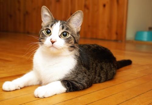 フローリングに座る猫