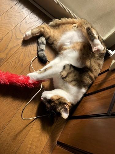 ヘソ天で、遊んでいる猫