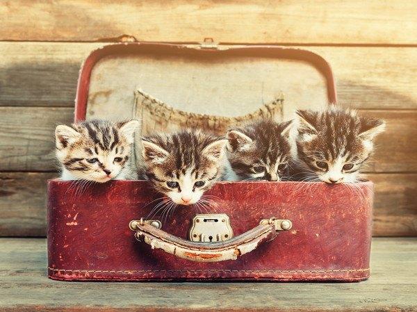 バッグの中に3匹の子猫
