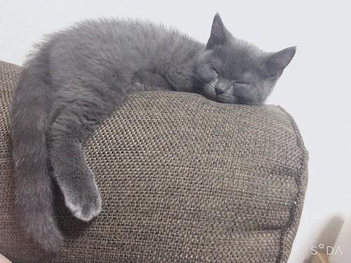 ソファーの上で眠る猫