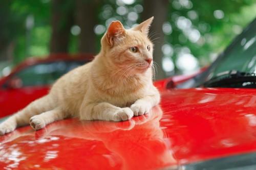 赤い車の上の猫