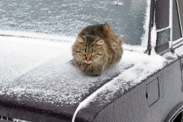雪の日に車の上に乗る猫