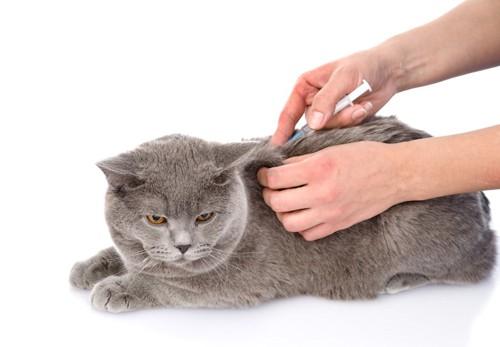 病院でワクチン接種をする猫