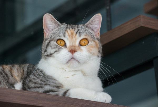 黄色い目の三毛猫