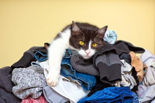 洗濯ものの上に乗る猫