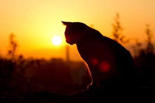 夕日でシルエットになっている猫