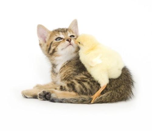 子猫と鳥のひな