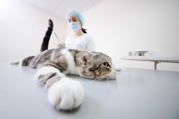 去勢手術中の猫