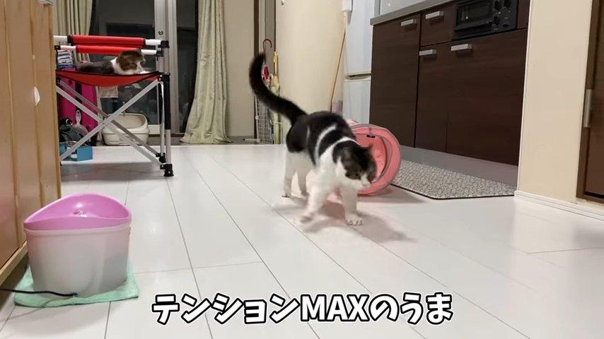 跳ねながら歩く猫