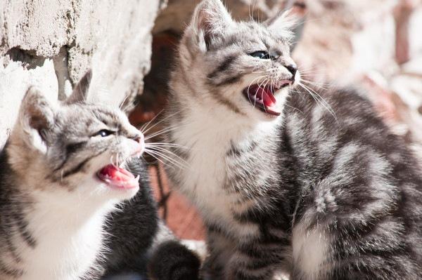 鳴く二匹の猫