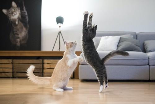 立ち上がって遊ぶ二匹の猫