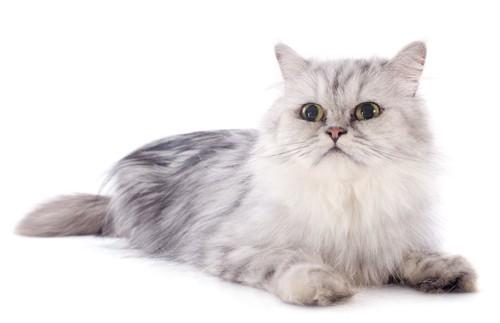くつろぐシルバーのペルシャ猫