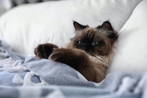 布団をかけてベッドで休んでいる猫
