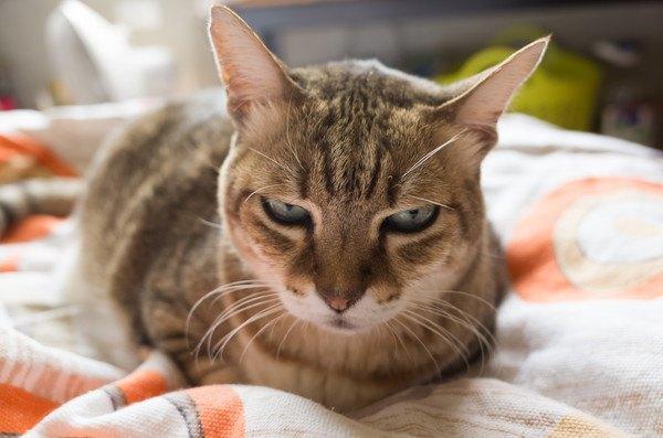 布団の上ですねる猫