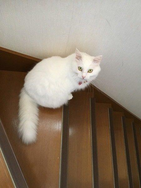 階段で見返る白猫