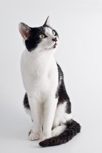 斜め上を見つめて座る白黒猫